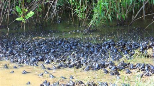 Masses of frogs set to overwhelm the territory.