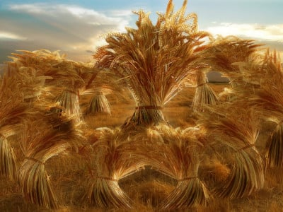 The eleven sheaves of grain bow down.