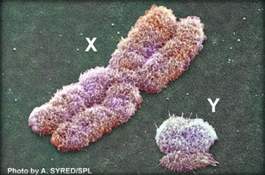 Geschlechts-Chromosome