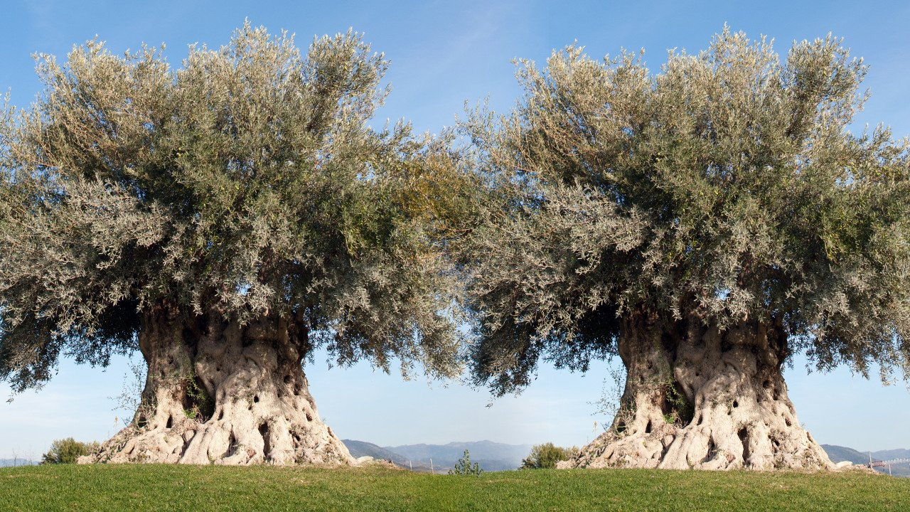 Two ancient olive trees